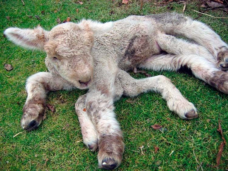 Chernobyl Deformities In Animals Chernobyl Mutations Animals And