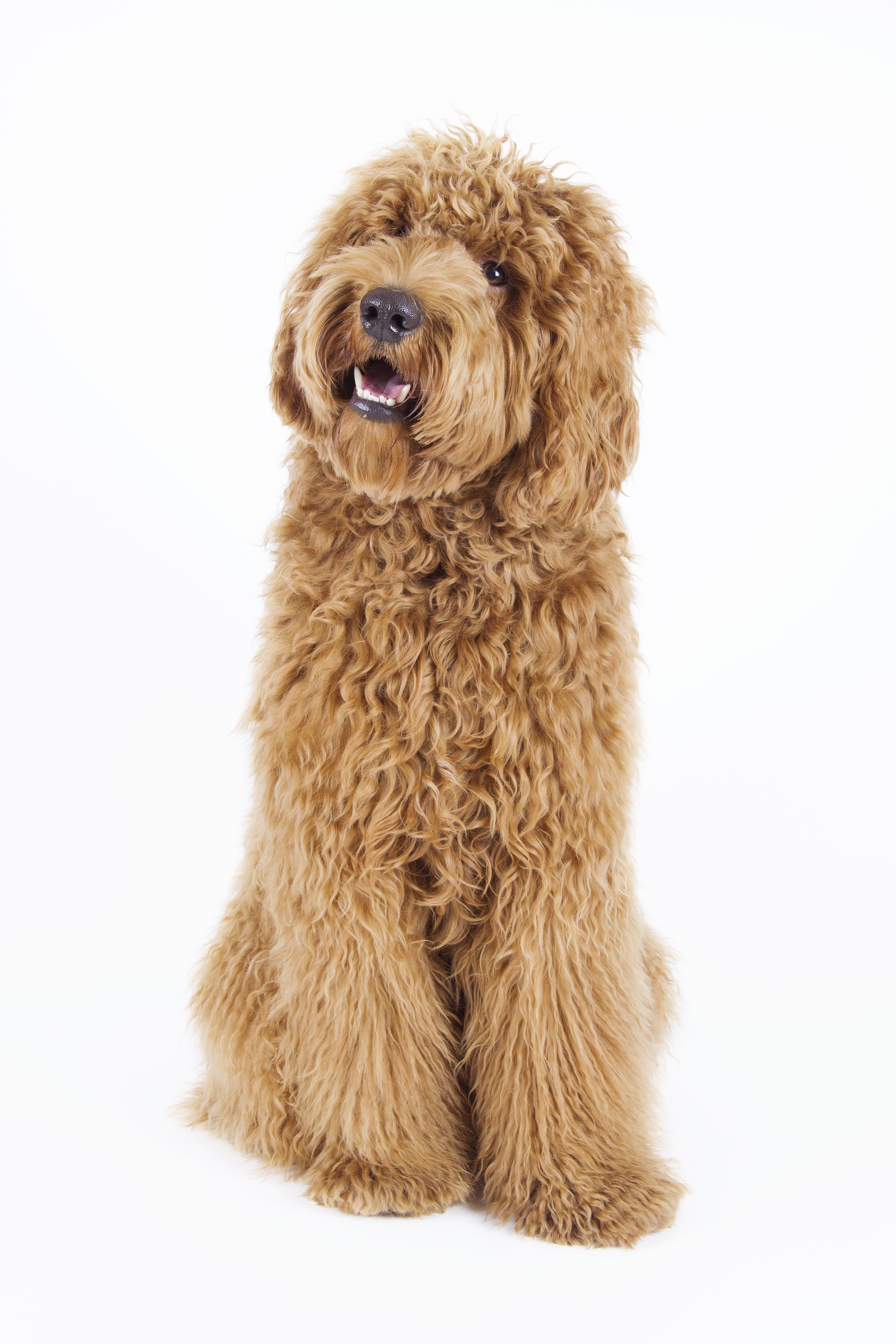 8 Surprising Facts About The Labradoodle Labradoodle Dogs Puppies