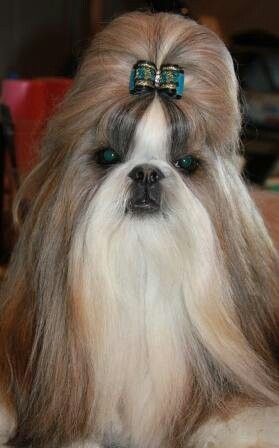 Shih Tzu Show Dog Bow By Doggybow Com Shih Tzu