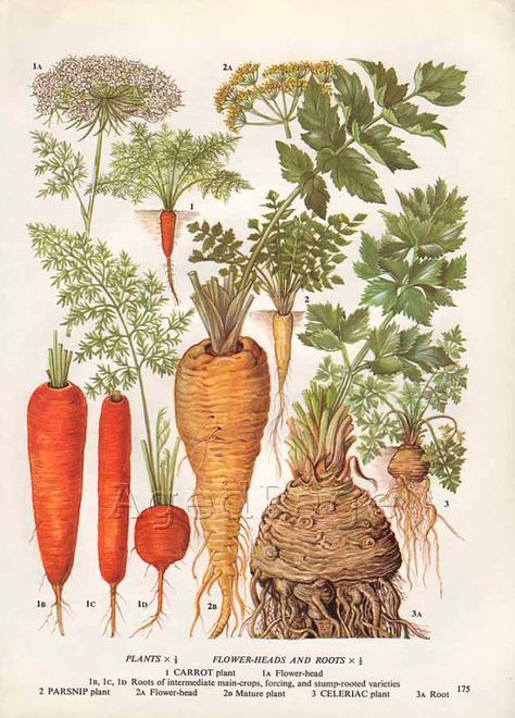 carrot plant diagram non contact voltage detector circuit vintage science vegetable root google search