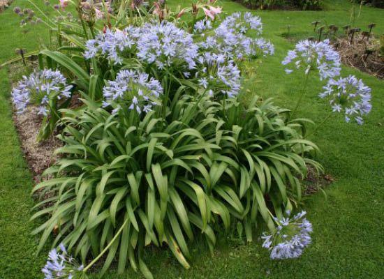 Agapanthus For Sale Arizona S Best Shrubs Landscaping Plants Plants Agapanthus