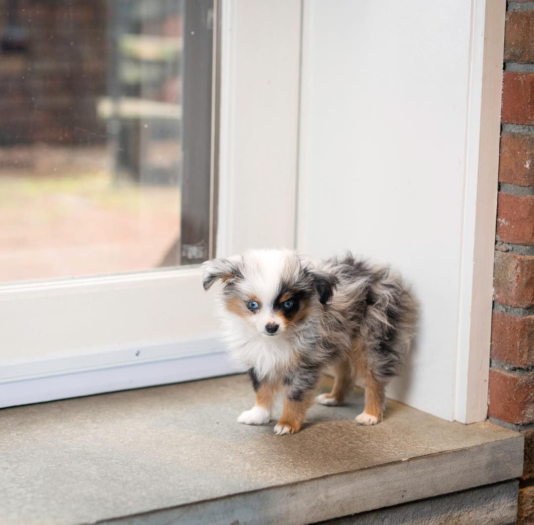 Cute Toy Australian Shepherd Puppy Mishabarkton Puppies Puppy Dog Cutepuppies Puppygram Cutepuppy Pups Aussie Puppies Australian Shepherd Toy Aussie
