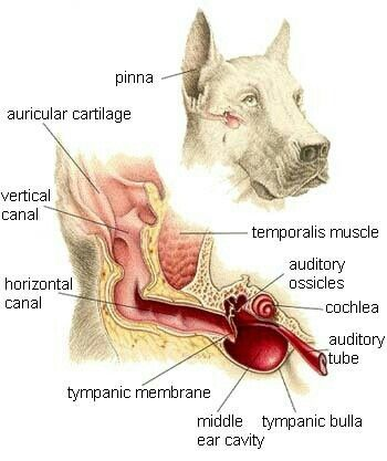 Dog Ear Anatomy Vet Tech Stuff Vettechstuff Pinterest