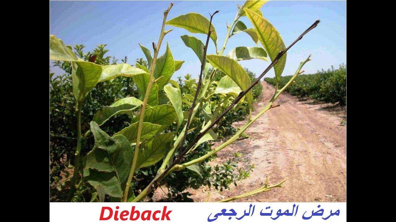 مرض فطرى مدمر لزرعك الموت الرجعى Dieback حلقة 360 Plant Leaves Plants Leaves