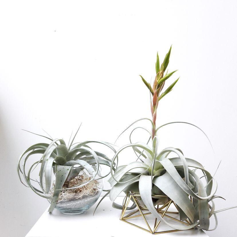 #Airplants #Tillandsia #planter #draadzaken #boutique #Ikebanart #Paris #plantshop