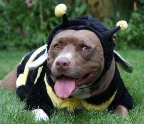 Website Hosts Costume Contest For Pit Bulls