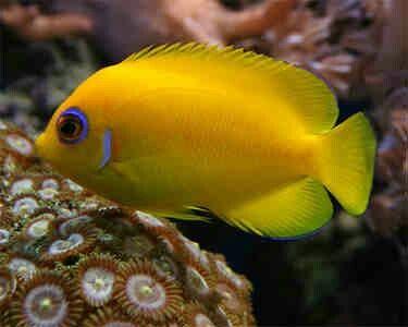 Lemon Peel Angelfish | Marine fish, Angel fish, Beautiful fish