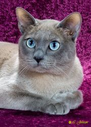 Tonkinese Best Of Color Beautiful Cats Tonkinese Cat Cute Cats