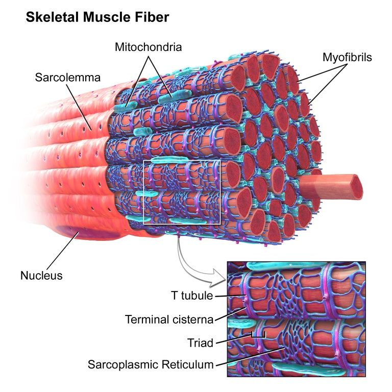 Muscle Fiber Model Labeled   Muscle anatomy