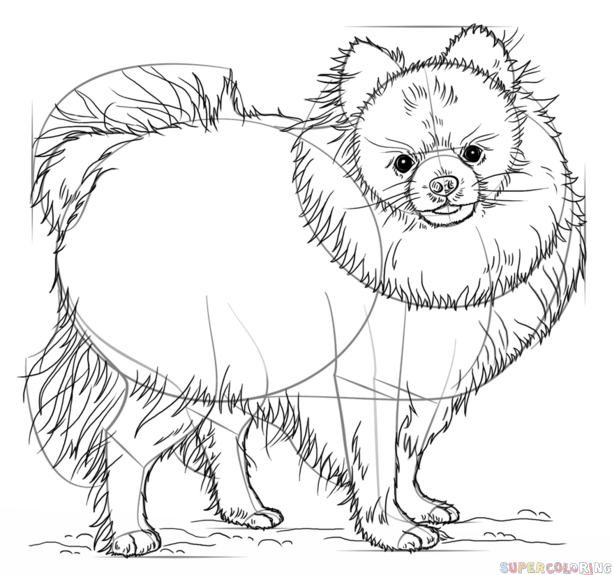 How to draw a pomeranian dog step by step. Drawing tutorials for ...