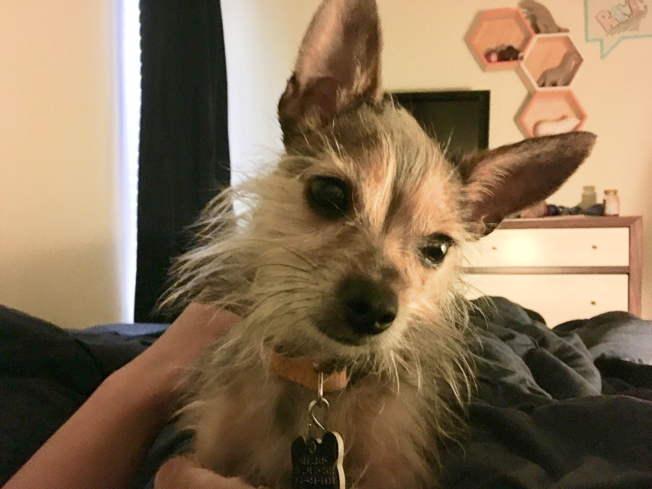 Adopt Blitzen on Terrier mix dogs, Cats, Mr cat