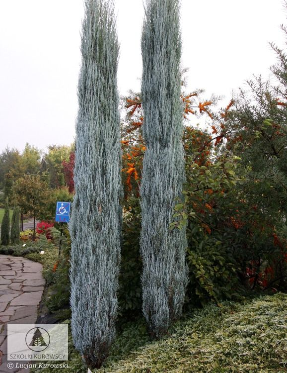 juniperus scopulorum 39 blue arrow 39 j virginiana 39 blue. Black Bedroom Furniture Sets. Home Design Ideas