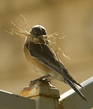 Female Blue Bird Making A Nest Beautiful Birds Birds Little Birds