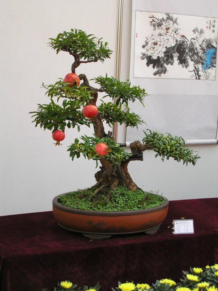 bonsai pomegranate bonsai pinterest bonsai bonsai baum and pflanzen. Black Bedroom Furniture Sets. Home Design Ideas