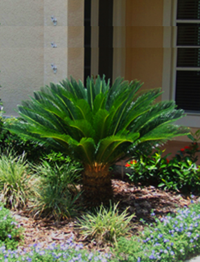 sago palm my next projects sago palm tropical garden palm trees. Black Bedroom Furniture Sets. Home Design Ideas