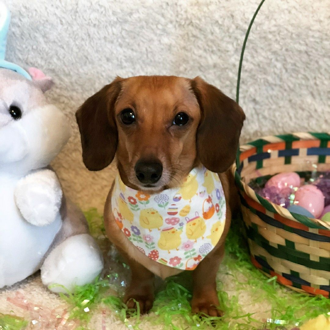 Pin By Wild For Weiners On Miniature Dachshunds Easter Pet