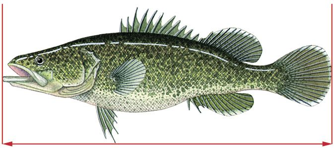 how to draw a freshwater fish