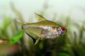 Lemon Tetra Hyphessobrycon Pulchripinnis Tropical Freshwater Fish Tetra Fish Aquarium Fish