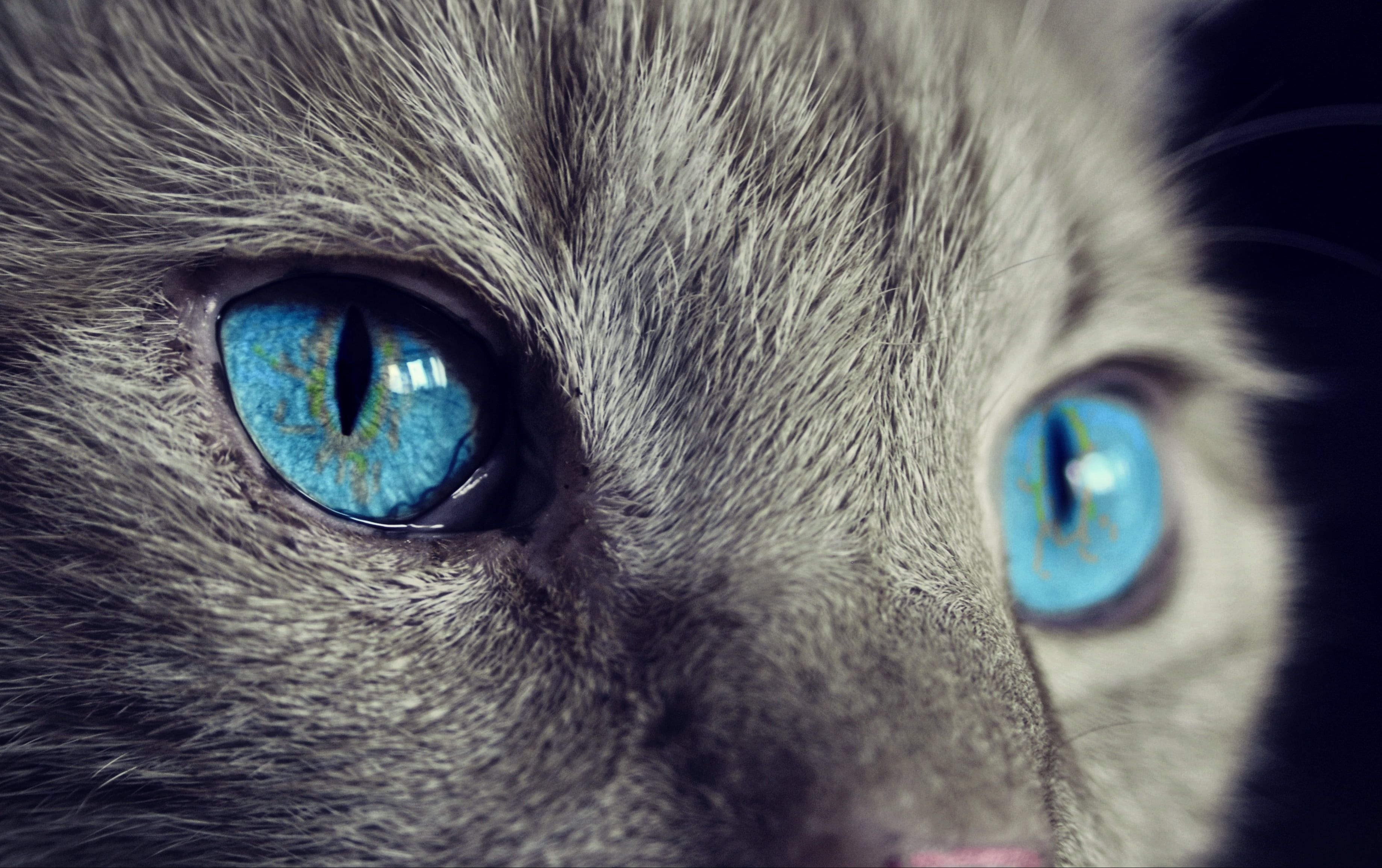 Blue Eyed Grey Cat Cat Face Blue Eyes 2k Wallpaper Hdwallpaper Desktop In 2020 Cat With Blue Eyes Cats Grey Cats