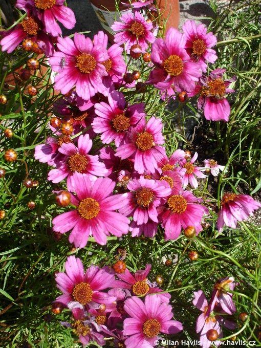 Zone 5 Perennials Longest Blooms Coreopsis Heaven S Gate Havlis