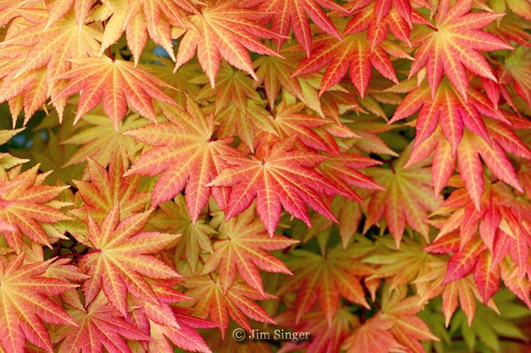 This Is The Spring Color Of Autumn Moon Acer Shirasawanum Autumn