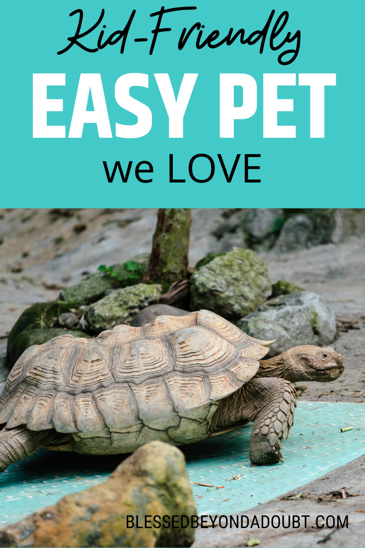 Here Is Everything You Ever Need To Know About Sulcata Tortoises They Are So Gentle And Low Maintenance Don T Forget To Grab The Free Activ