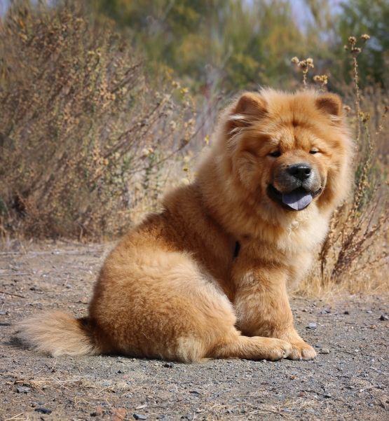 Chow Chow Puppy Umka Pets Animals Chow Chow Chow Chow Dogs