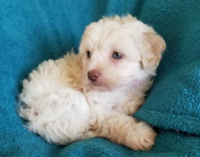 Maltipoo Puppy For Sale In Chesapeake Va Adn 69331 On
