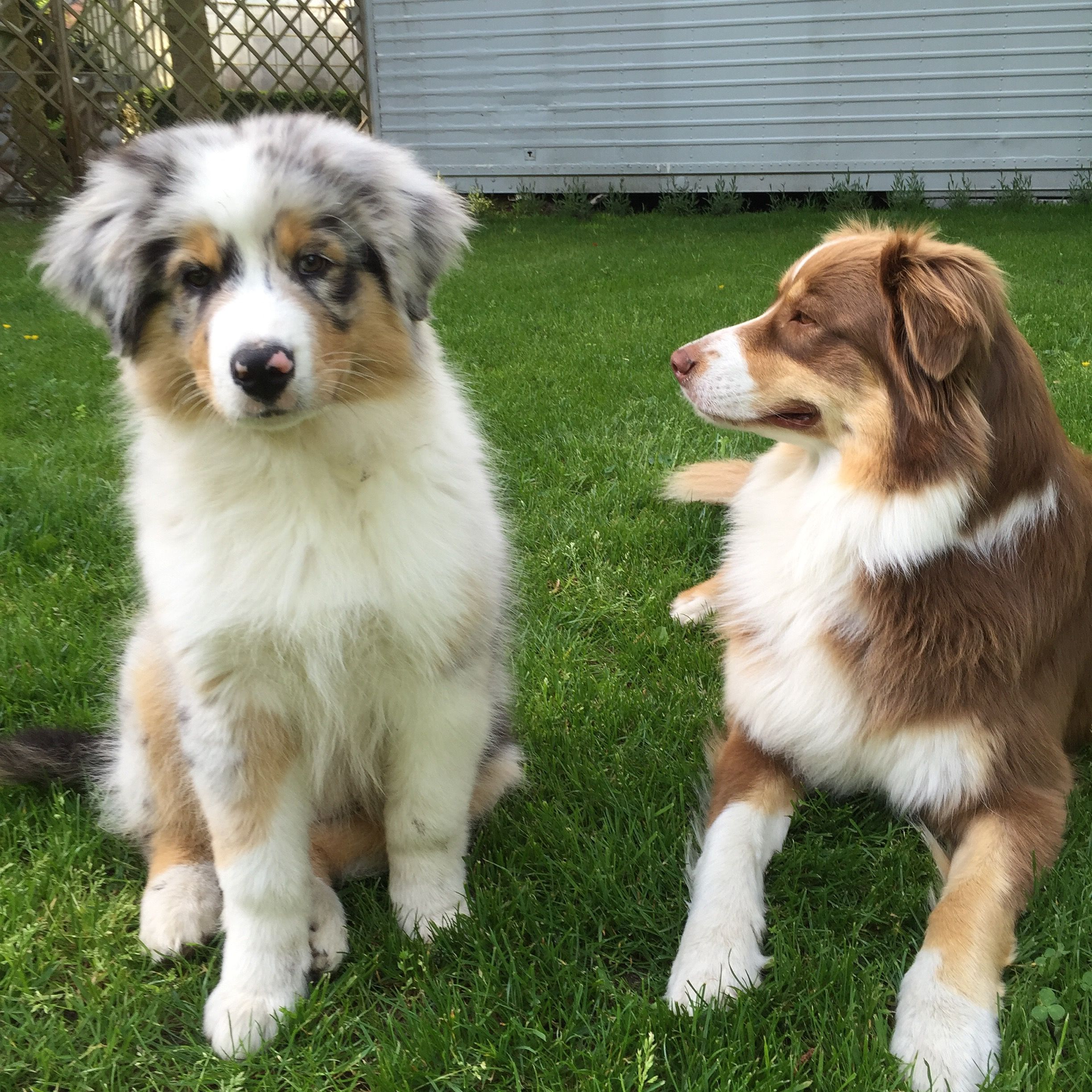 3 Month Blue Merle And 2 Year Old Red Tri Aussie Dogs