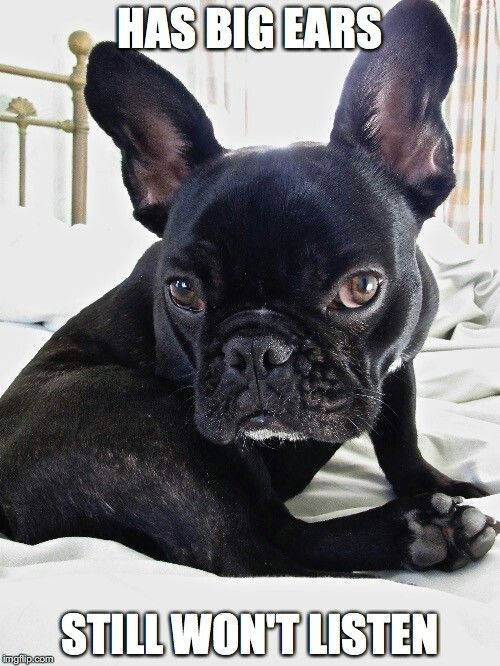 French Bulldogs May Be Stubborn But They Re Just So Darn Cute