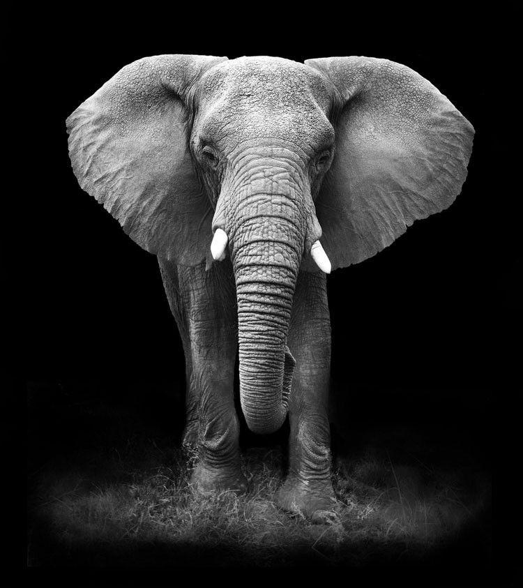Elephant in black and white by Donovan van Staden