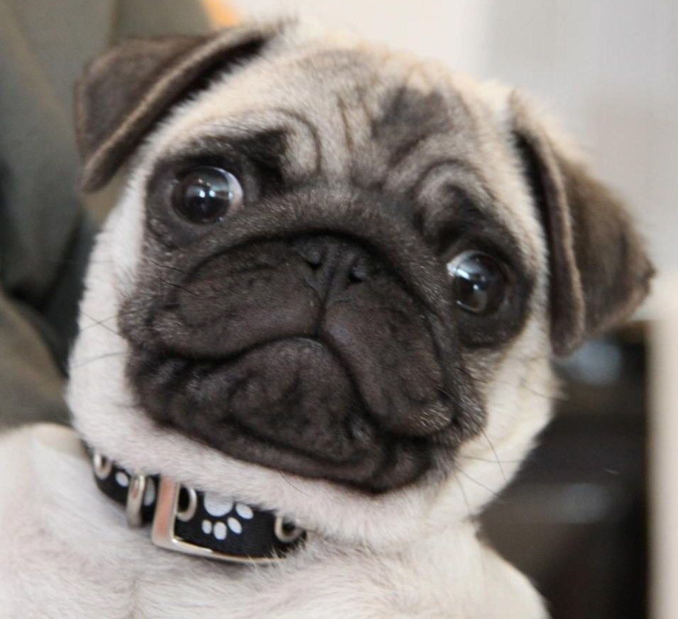 Pug Wallpaper Screensaver Background Cute Pug Puppy Cute Pug