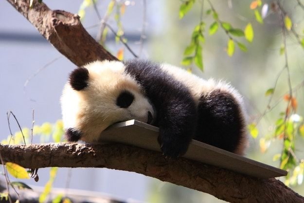 Baby pandas are surprisingly small--they weigh about as much as a cup of tea!