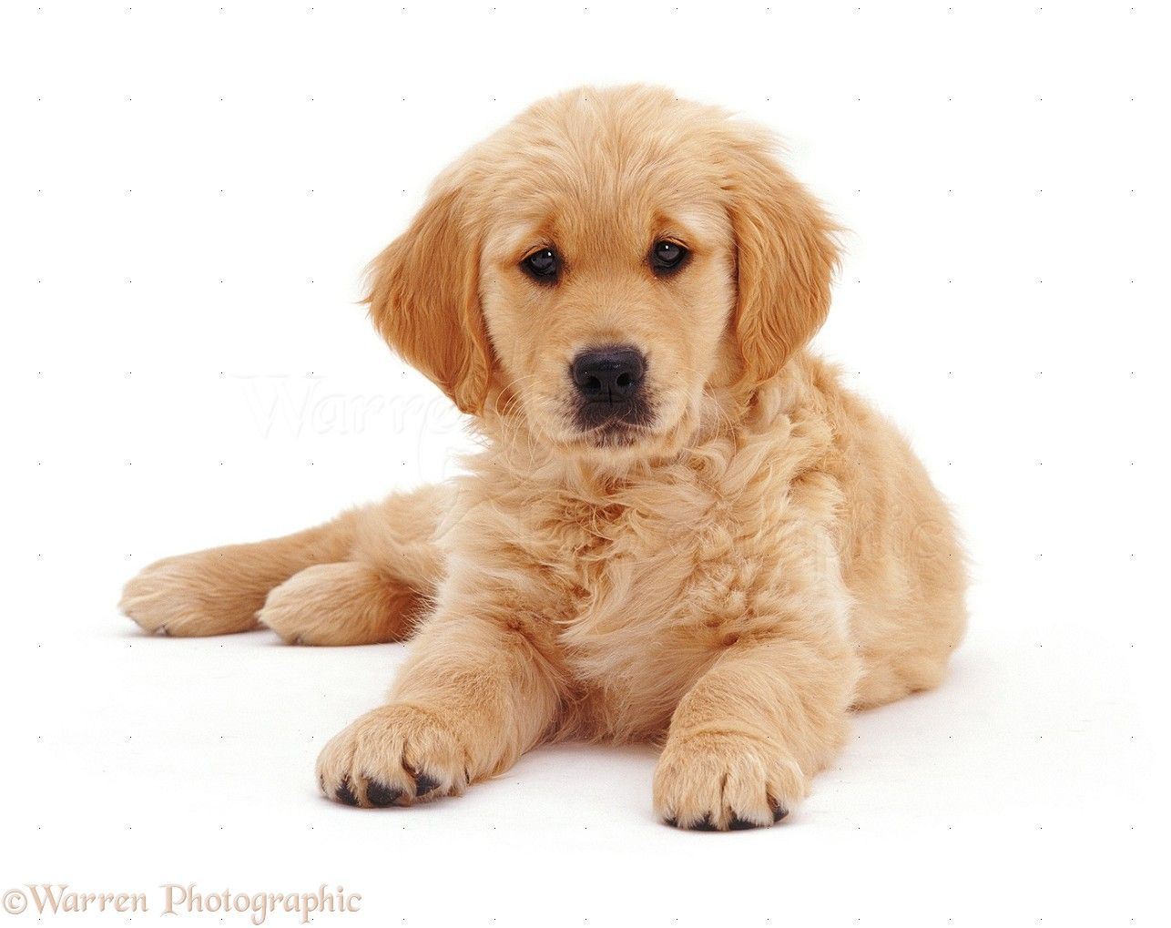 White Golden Retriever Puppies Golden Retriever Puppy Golden