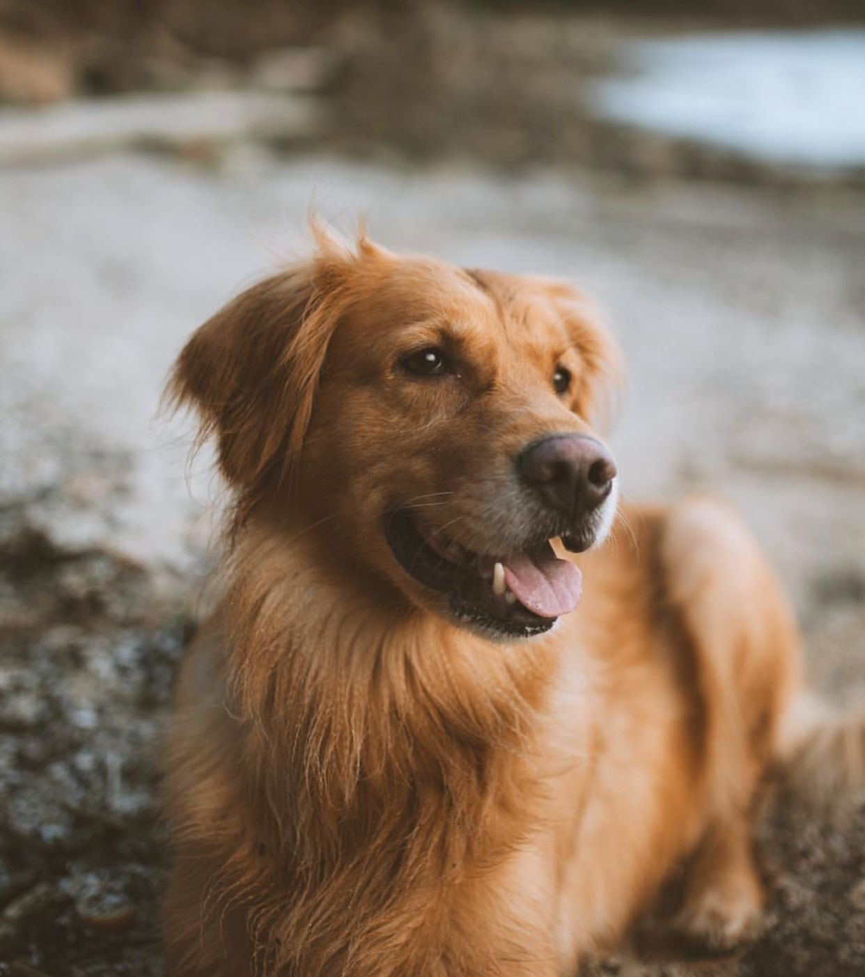 Puppy Dog With Images Dog Adventure Dogs Dogs Golden Retriever