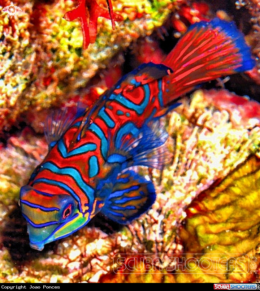 Mandarin Fish in Manado - North Sulawesi - Indonesia | Sea Creatures ...