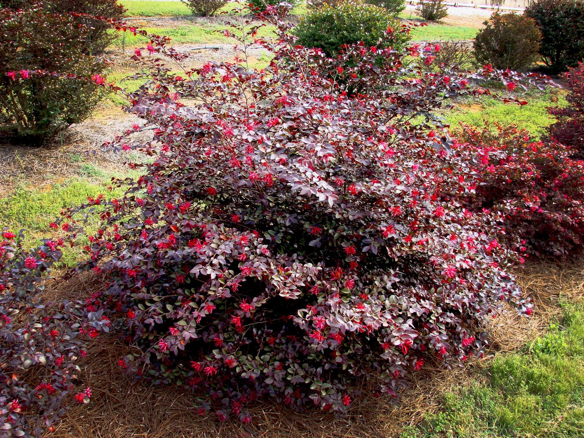 Loropetalum Ruby Colorful Shrubs Trees Shrubs Garden Shrubs