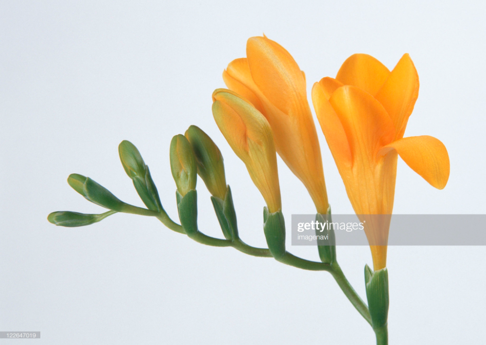Stock Photo Freesia In 2020 Freesia Flowers Flower Pictures Flowers Photography