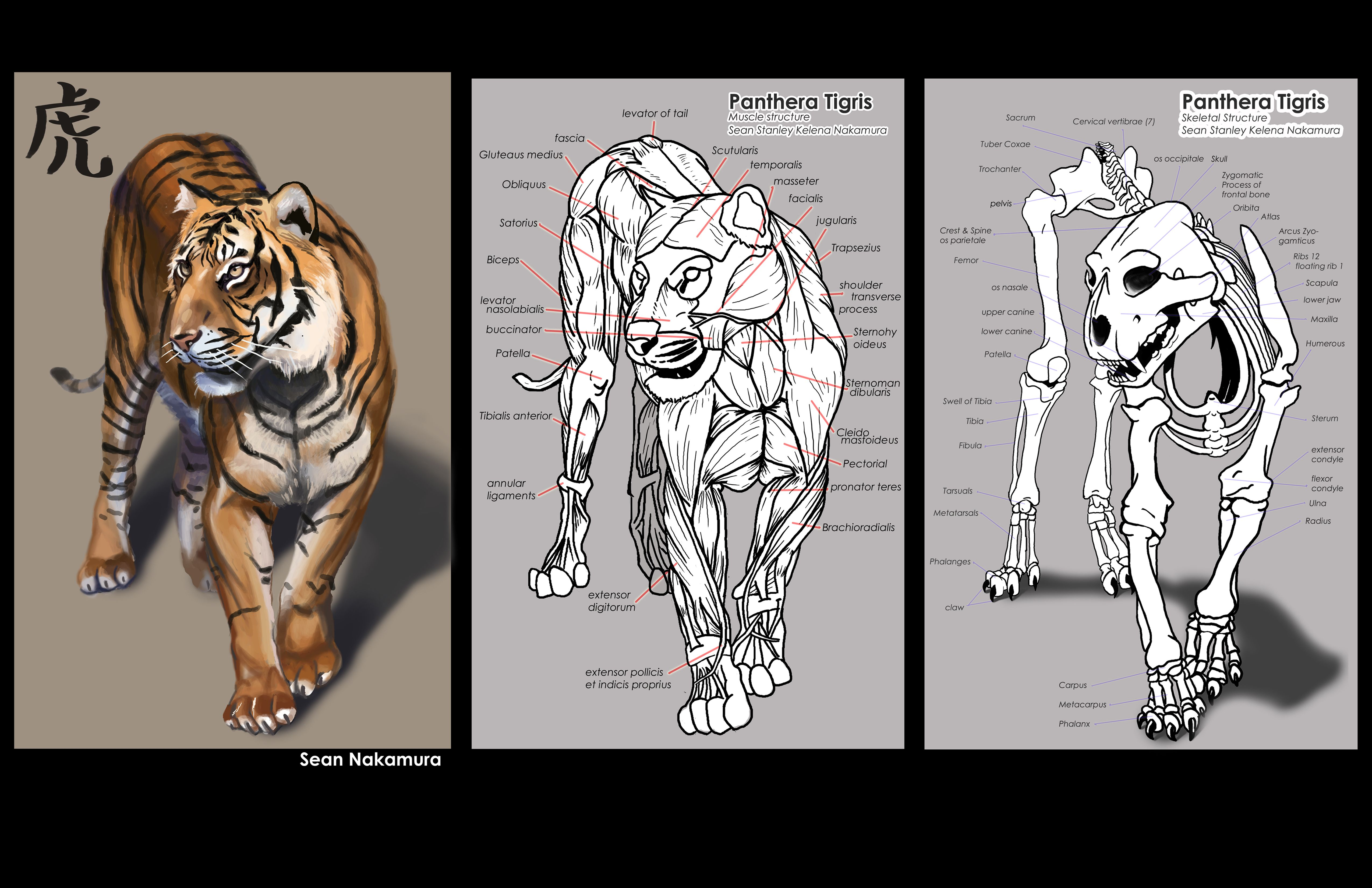 facial anatomy cat anatomy anatomy drawing anatomy study tiger drawing tutorial  [ 5100 x 3300 Pixel ]