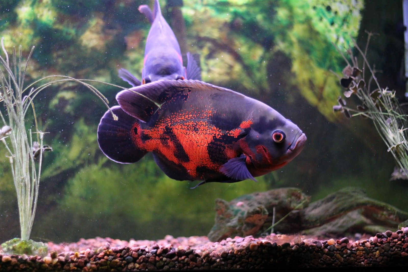 Tiger Oscar Cichlid Aggressive Freshwater Fish That Grows Up To 14
