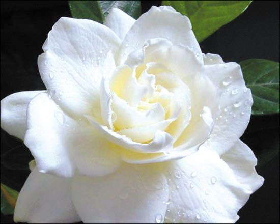 Gardena For Sale | Arizonau0027s Best Shrubs   Moon Valley Nursery