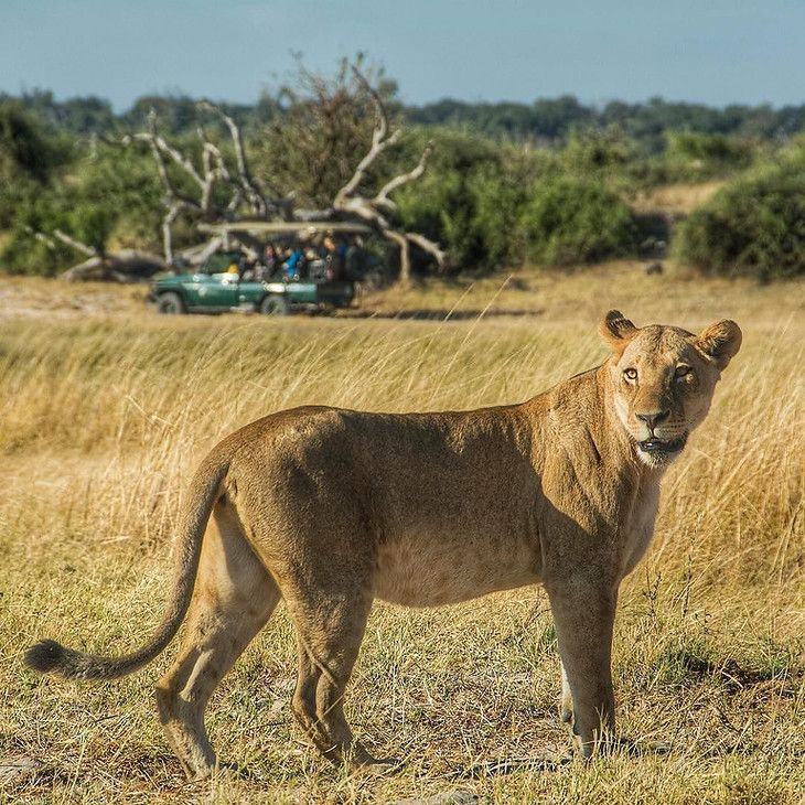 One frame (of many) from our 17-lion morning game drive in Chobe National Park, Botswana. The morning drive, already magnificent, was about to end when an opportunity to track a pride of 12 lions (earlier, we'd followed a lioness and her 4 cubs) emerged. Lynn, one of the team of @chobegamelodge all-female guides, has been remarkable and easy-going, particularly as she navigates a whisper quiet fully-electric game drive land cruiser. By the way, you have a chance to win this trip flights by…