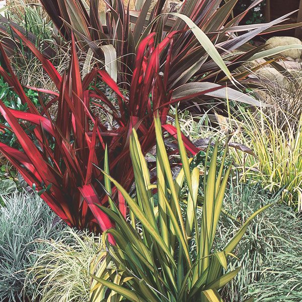New Zealand Flax Hybrid Phormium Hybrid Pick Ontario New Zealand Flax Small Front Gardens Plants