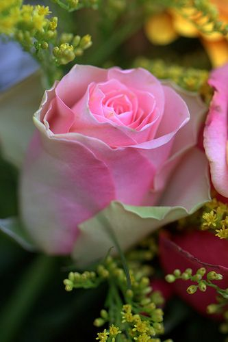 Pink Rose dedicated to my Mother | Flickr - Photo Sharing!