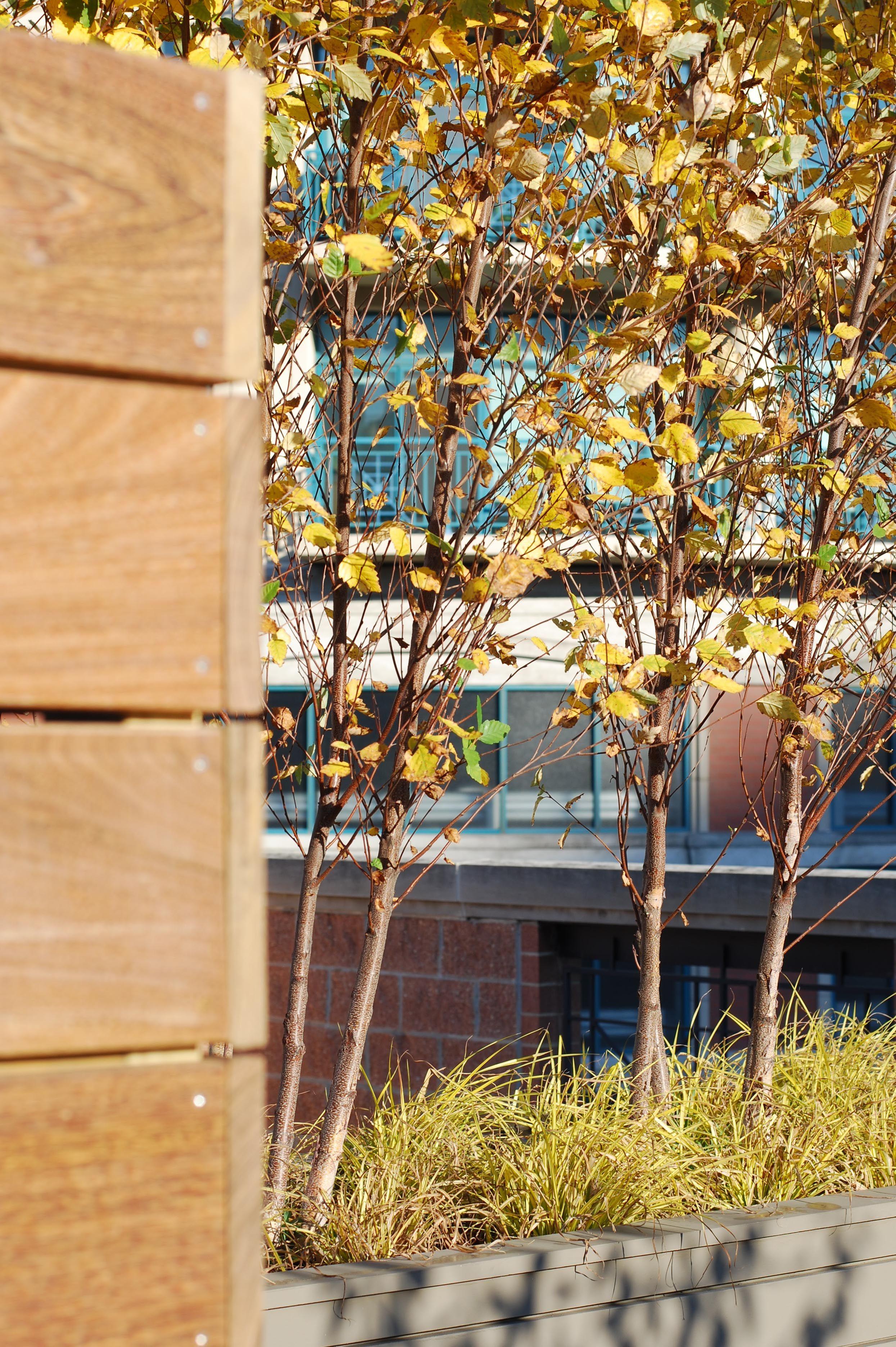 Upper Deck   Roof Deck   Urban   Garden   Landscape Design   Fall   Birch Trees   Containers   Ipe