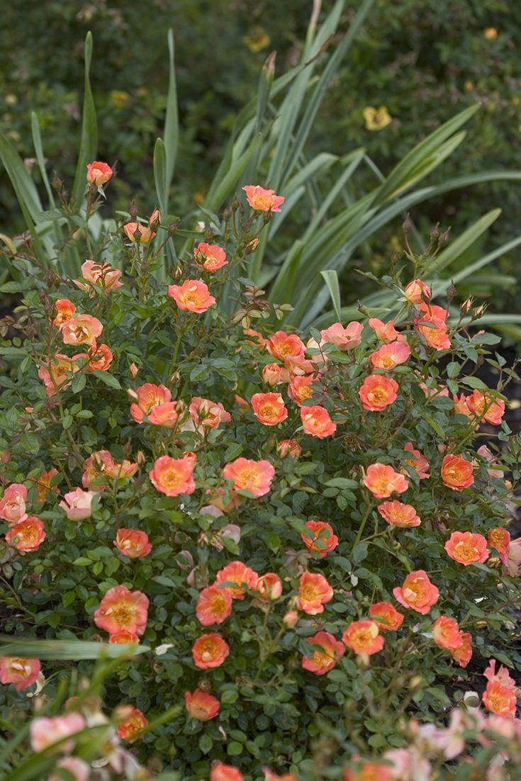 Simple Rose Garden: Oso Easy® Paprika - Rose - Rosa Sp