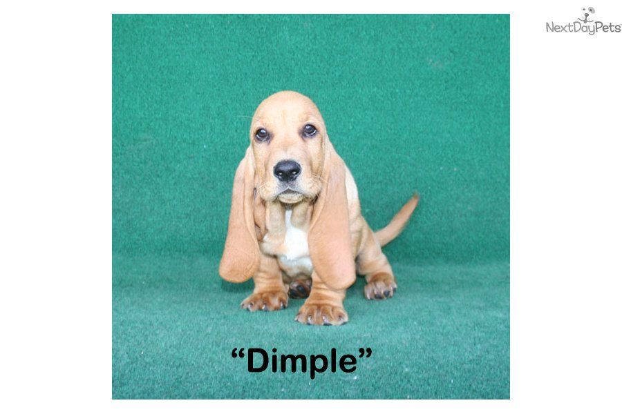 Basset Hound Puppies For Sale You Ll Love This Female Basset