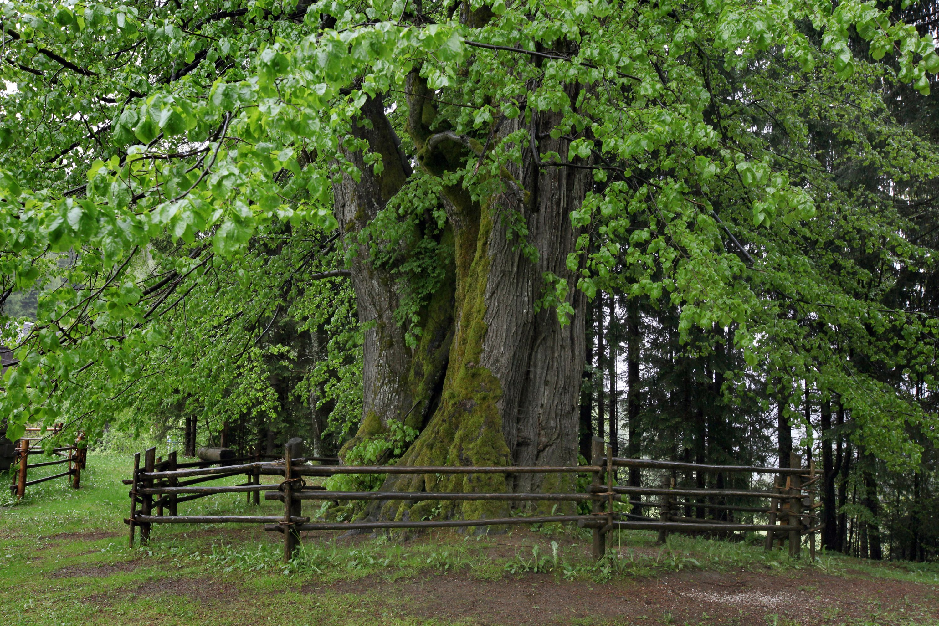 The linden tree - a tree of friendship, love and loyalty | slovenia ...