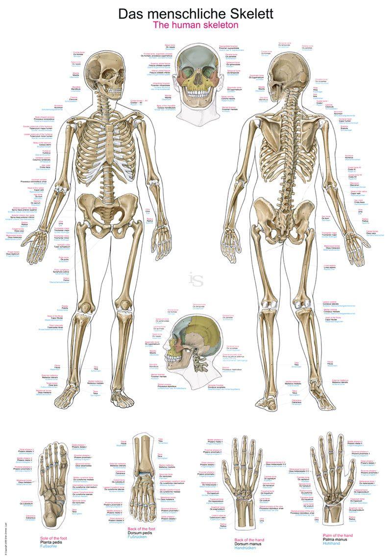 Lehrtafel Das menschliche Skelett, Deutsch, Englisch, Latein ...