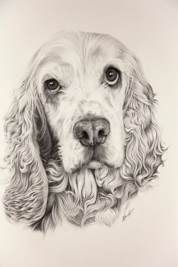 Cocker spaniel drawing recherche google dog paintings - Dessin de cocker ...